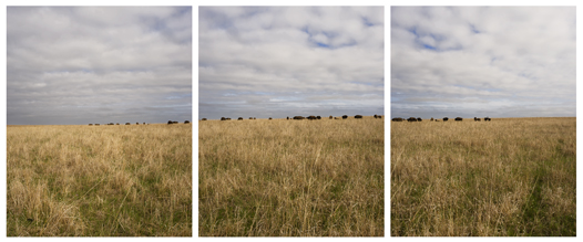 tall grass and bison